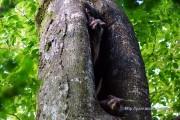巣穴から出てきたムササビ