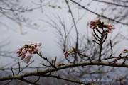 桜の開花定点観測Vol.08