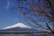 長池湖畔道路沿いの富士桜