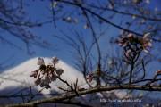 桜の開花定点観測Vol.09