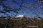 桜の開花定点観測Vol.09その2