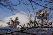 桜の開花定点観測Vol.10