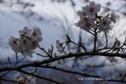 桜の開花定点観測 Vol.11(最終版)