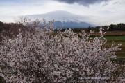 花の都公園桂川沿いの富士桜