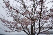 きらら前の桜が咲き始めた