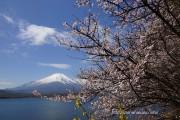 ままの森の下の富士桜