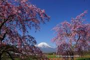 花の都公園の八重しだれ桜