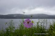 湖畔に咲く1輪のコスモス