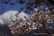 2016桜の開花定点観測VOL.09