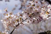 2016桜の開花定点観測VOL.10