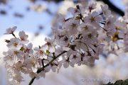 2016桜の開花定点観測VOL.11