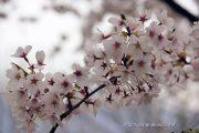 2016桜の開花定点観測VOL.12