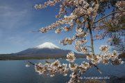 満開の長池湖畔の桜