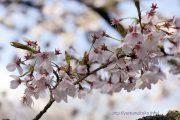 2016桜の開花定点観測VOL.13(最終版)