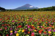 百日草と富士山