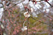 平野天満宮の梅の花