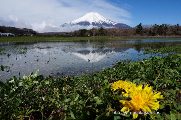 雨上がりの日限定の逆さ富士とタンポポ