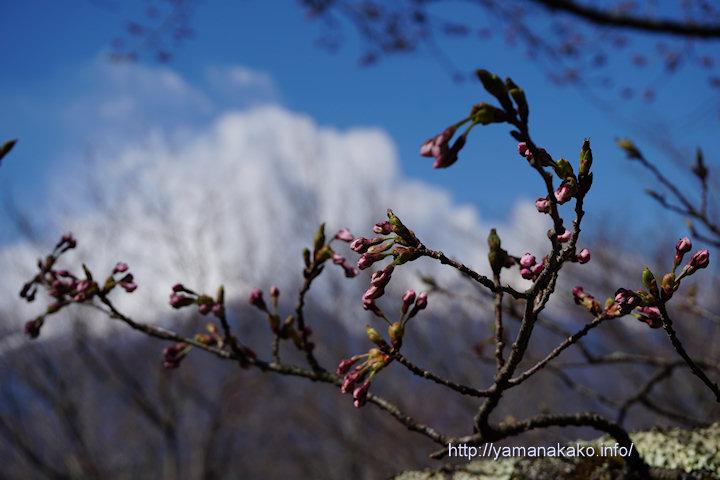 2017桜の開花定点観測 VOL.03