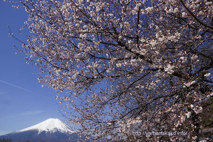 忍野の道沿いの桜