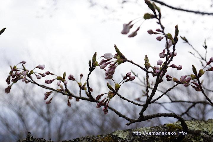 2017桜の開花定点観測 Vol.05