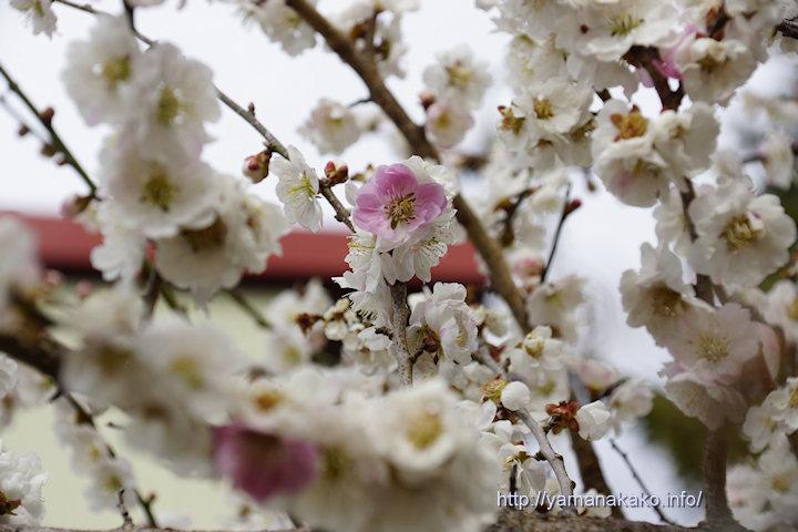 紅白の梅の花