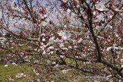 桂川沿いの富士桜