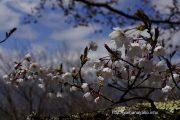 2017桜の開花定点観測VOL.06