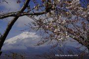 長池湖畔の桜