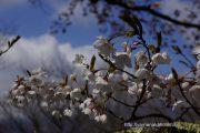 2017桜の開花定点観測VOL.07
