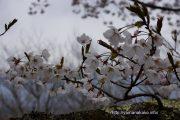 2017桜の開花定点観測VOL.08