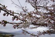 きらら前の桜