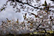 2017桜の開花定点観測VOL.09