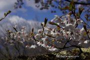 2017桜の開花定点観測VOL.10
