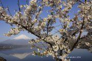 きらら前の桜と逆さ富士