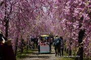八重しだれ桜のトンネル