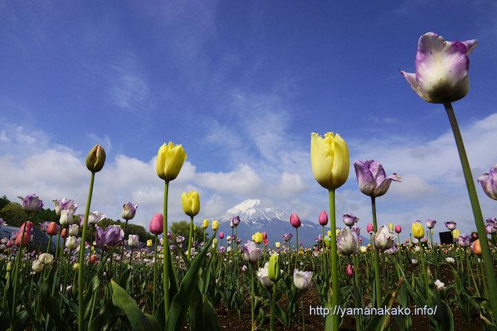 花の都公園のチューリップ