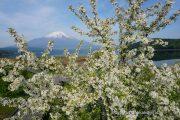 きらら前にあるエゾノコリンゴの花