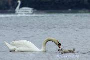 白鳥親子と偽白鳥