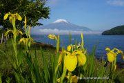 幸せの花黄菖蒲と富士山