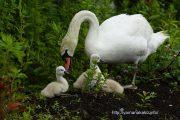 草を食す白鳥親子