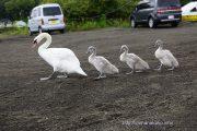 1列に並んで歩く白鳥親子