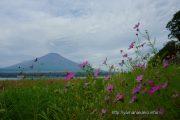 湖畔に咲くコスモス