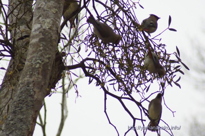 ヤドリギの実を食べるヒレンジャク