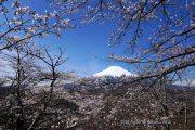 2018桜の開花定点観測場所は見頃に