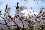 2018桜の開花定点観測VOL.09