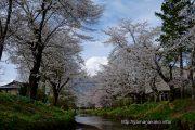 忍野村お宮橋付近の桜