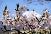 2018桜の開花定点観測VOL.10