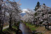 新名庄川沿いの桜は満開