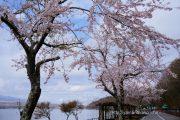 満開になった長池湖畔の桜