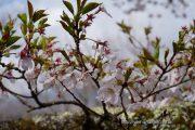 2018桜の開花定点観測VOL.11